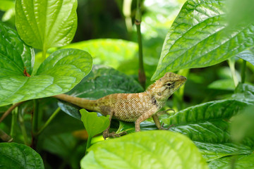 Chameleon on green leaf.