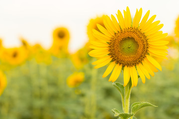 Sun flower with copy space.