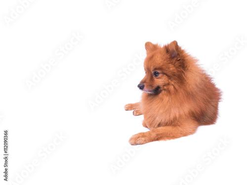 Pomeranian Dog Sitting On A White Background Stock Photo And
