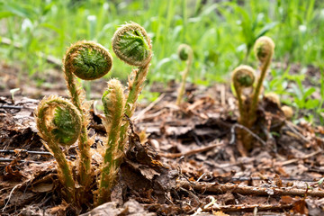 Spirals of growing wood fern