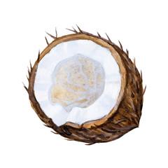 Ripe Watercolor coconut illustration.