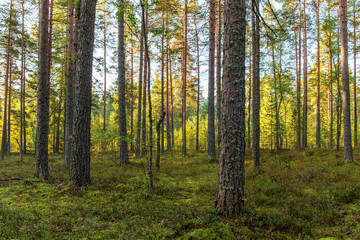 sunny coniferous forest
