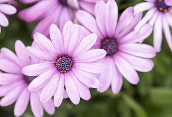 Daisy, Beautiful pink daisy.