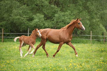 Fototapete - Lovely couple - mare with its foal - running together