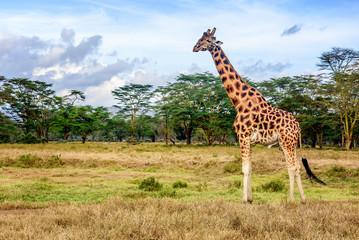 Girafe in Kenya
