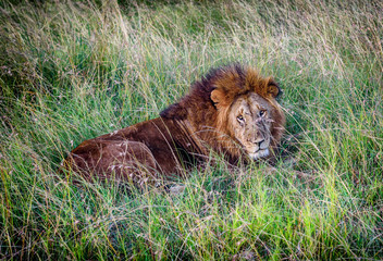 African Lion resting in the grass, Kenya