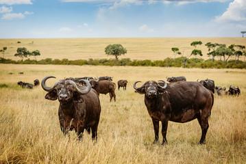 Wild African Buffalo Bull in Kenya, Africa