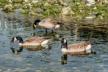 Canada Geese In Stream 2