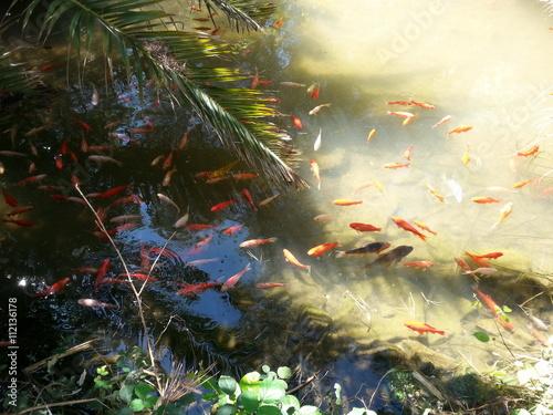 Goldfische im teich fotos de archivo e im genes libres for Goldfische im teich im winter