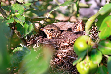 Two chicks sitting in the nest of thrush.