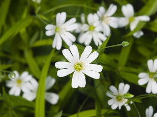 Flower Greater stitchwort, Stellaria holostea, with bokeh background, macro, selective focus, shallow DOF