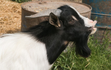 Profile of funny tibetan goat