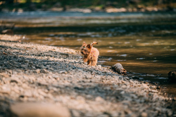 A purebred Yorkshire Terrier dog without leash outdoors in the nature on a sunny day running near river.