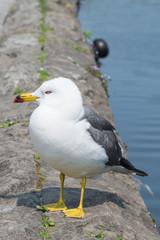 Seagull standing on a rock, Otaru, Hokkaido Japan