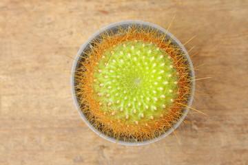 Cactus Parodia Haselbergii top view in grey pot on wooden floor
