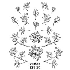 set of branches and apple flowers. Flower set: Sketch of blossoming Apple tree branch. element for your design.