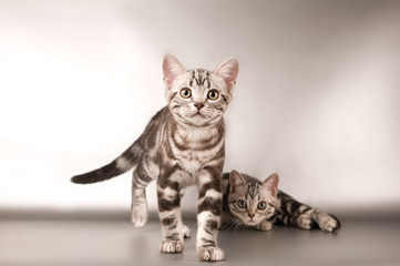 American shorthaired kitten on silver background