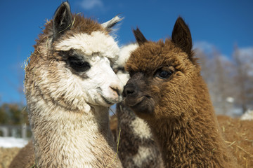 Alpacas kissing.