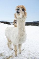 Proud alpacas in the snow