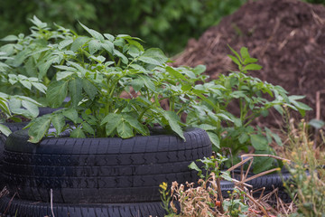 Potatoes growing in tire beds