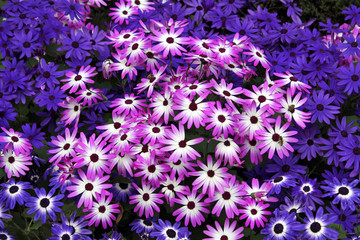 Closeup of a Field of Pink and Purple Daisy Flowers