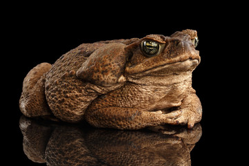 Cane Toad - Bufo marinus, giant neotropical or marine toad Isolated on Black Background