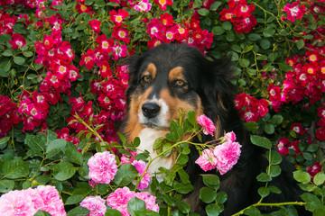 ortrait of sad dog. Australian shepherd on the roses.