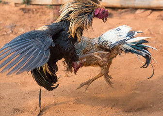 fierceness of the fighting cocks