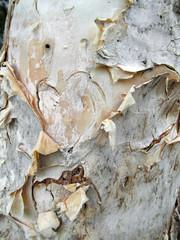 Melaleuca bark closeup near Somerset Dam