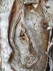 Beautiful Melaleuca bark closeup near Somerset Dam