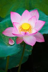 Fototapete - Beautiful lotus flower