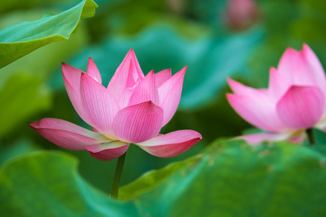 Wall Mural - Beautiful lotus flower