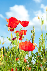Field with red translucent poppy flowers in rays of sunlight.