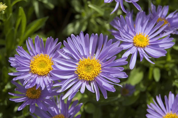 Purple asters flowers