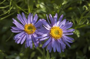 Two alpine asters purple