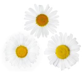 three fine chamomile flower blooms on white