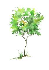 Летнее дерево акварелью на изолированном белом фоне