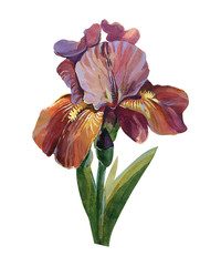 Watercolor flower of iris