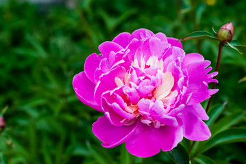 Large lush pink peony bud