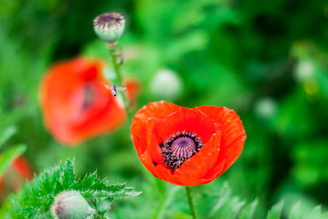 Beautiful red poppy with a bee that collects nectar