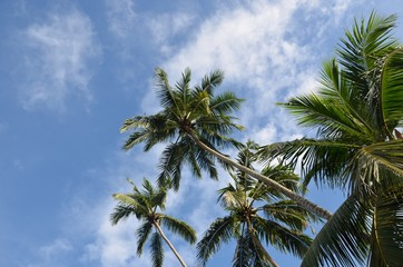 Tropical tall palm trees on a blue sky.