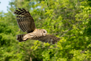 Barred owl in flight in the woods