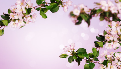 Blooming apple tree in the spring background with bokeh