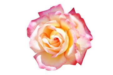 big beautiful rose