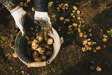 Gardener harvesting potatoes in garden