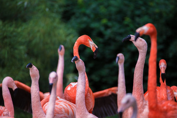 Flamingos in nature.