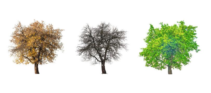 three pear tree