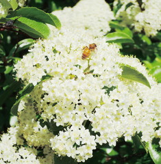 bee on the hydrangea flower