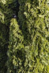 Evergreen tree closeup