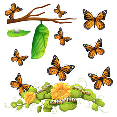 Different stages of butterfly